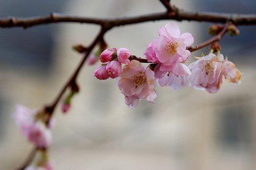 Fleurs de cerisier de décembre