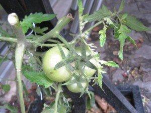 Tomates de décembre poussant sous un présentoir à journaux